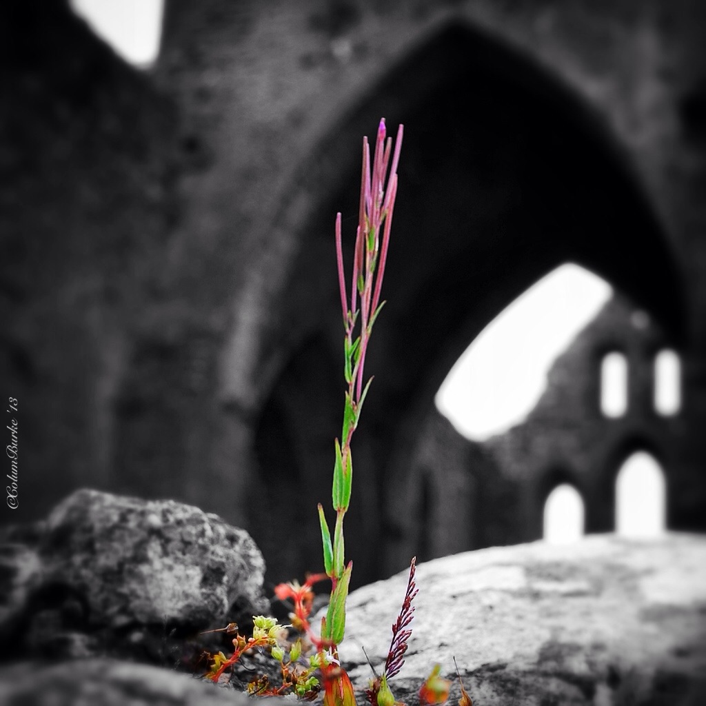 There is life in the Old Abbey,  Colour splash at Dunbrody Abbey