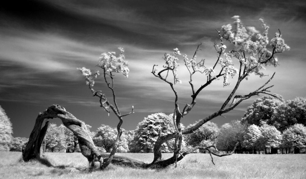 Fallen tree, Phoenix Park