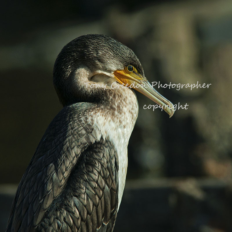 Long Tailed Cormorant, The Gambia