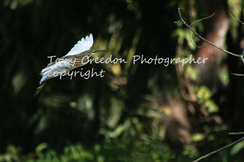 Squacco Heron The Gambia