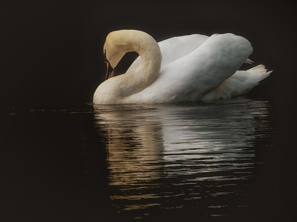 Swan at Dusk, Dublin Zoo