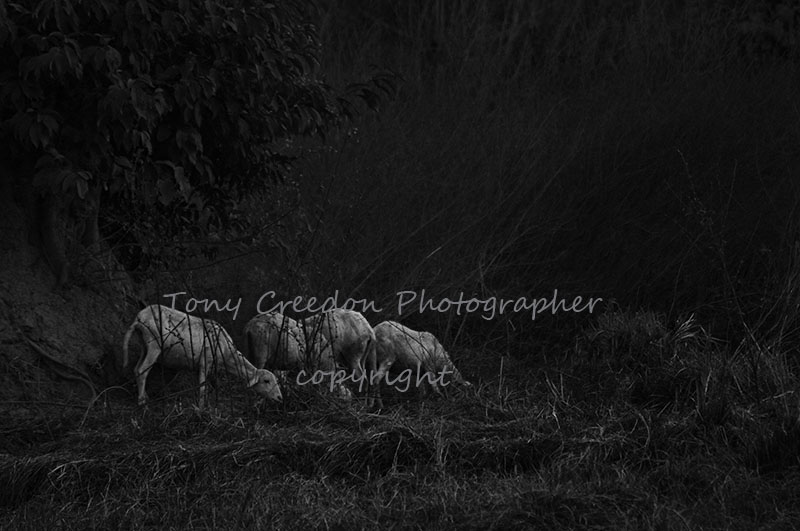 White Goats at dusk, The Gambia